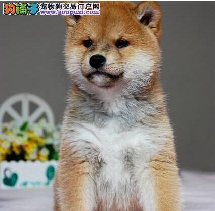 广州看家护院犬柴犬 容易打理日本柴犬