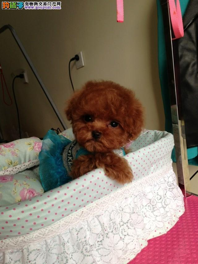 名犬卖的是高品质卖的是诚心 我家泰迪犬就是纯种健康