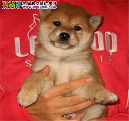 郑州自家狗场繁殖直销柴犬幼犬微信选狗直接视频