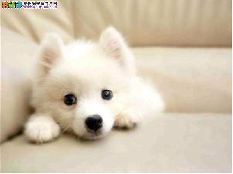 山西哪里有银狐卖 山西银狐多少钱 山西宠物狗狗