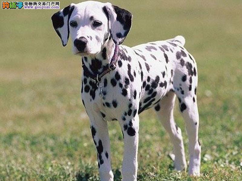 高品质斑点狗幼犬、真实照片视频挑选、签订终身合同