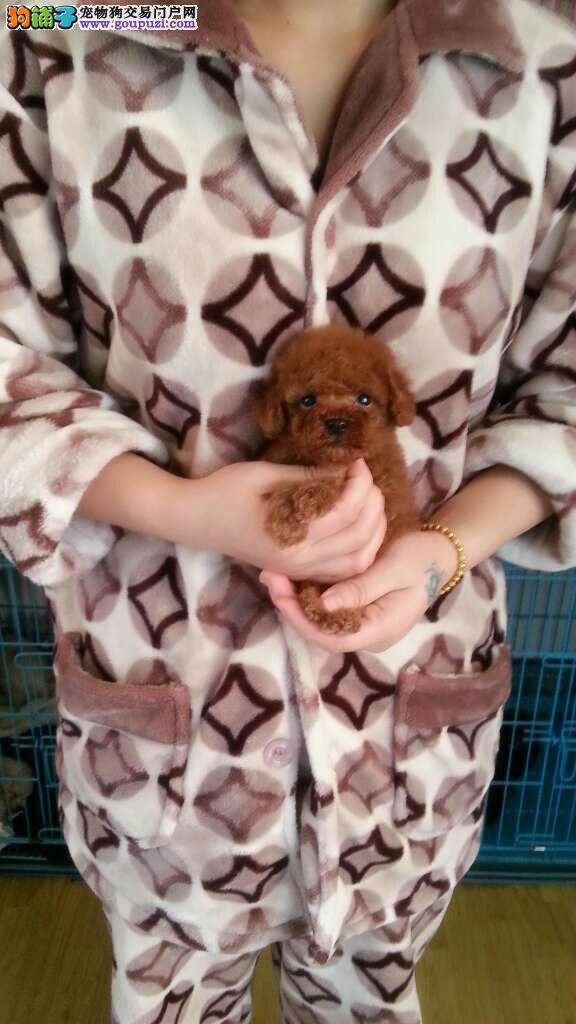 一个宁波市长都说好的泰迪犬狗狗 本犬舍有售 可挑选