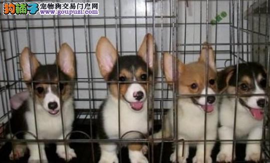 宁波赤道名犬长期出售短腿柯基幼犬 欢迎大家上门挑选
