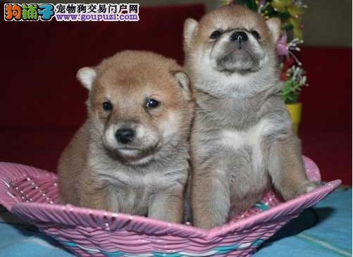 宁波赤道名犬常年出售日系柴犬 血统纯度高 质量有保障