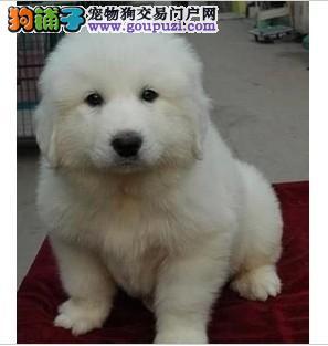宁波赤道名犬常年出售大白熊幼犬狗狗 欢迎上门挑选