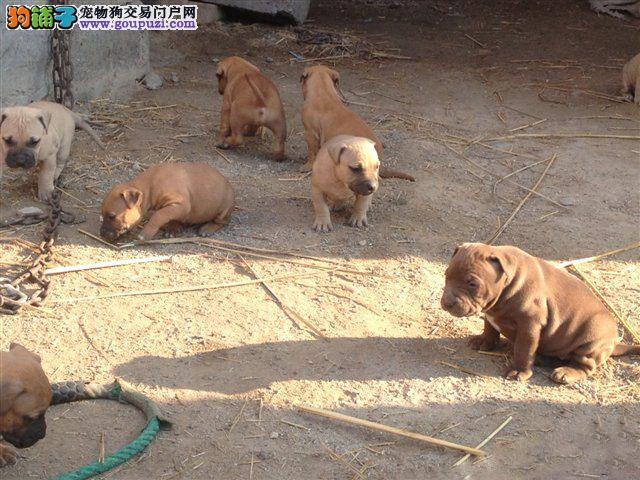 泉州自家养殖纯种比特犬低价出售价格美丽品质优良