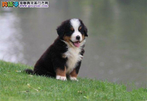 高品质伯恩山幼犬带血统出售中 可签协议