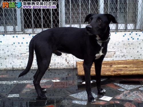 最大犬舍出售多种颜色格力犬欢迎实地挑选