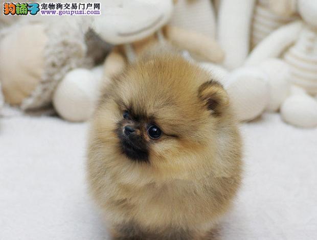 信誉第一 品质第一 精品博美幼犬 健康质保 168犬舍