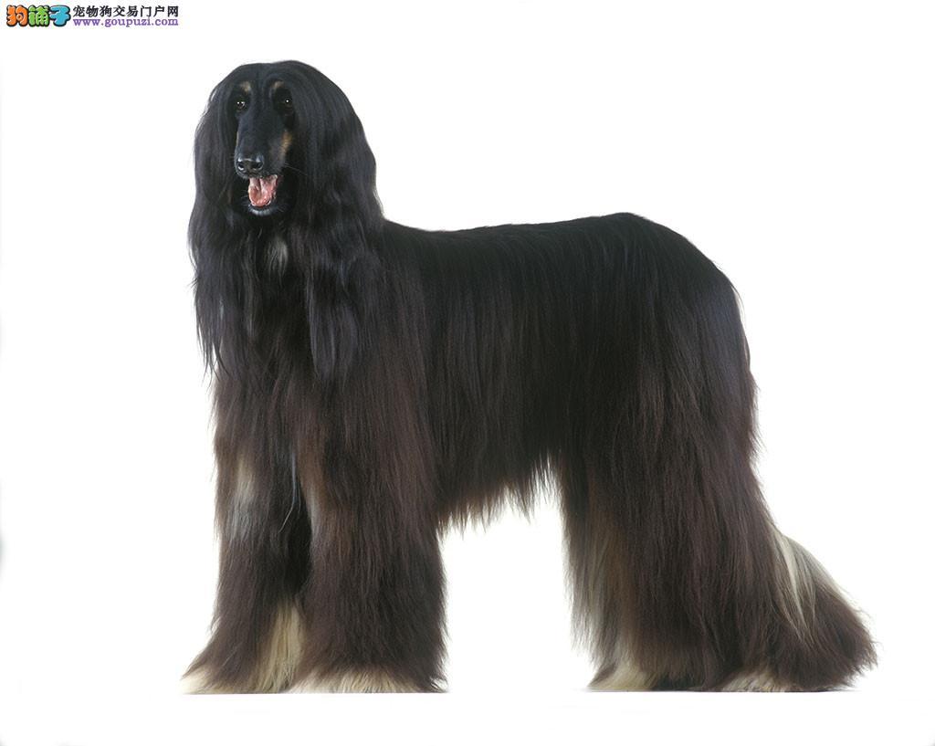 实物拍摄的青岛阿富汗猎犬找新主人微信看狗真实照片包纯