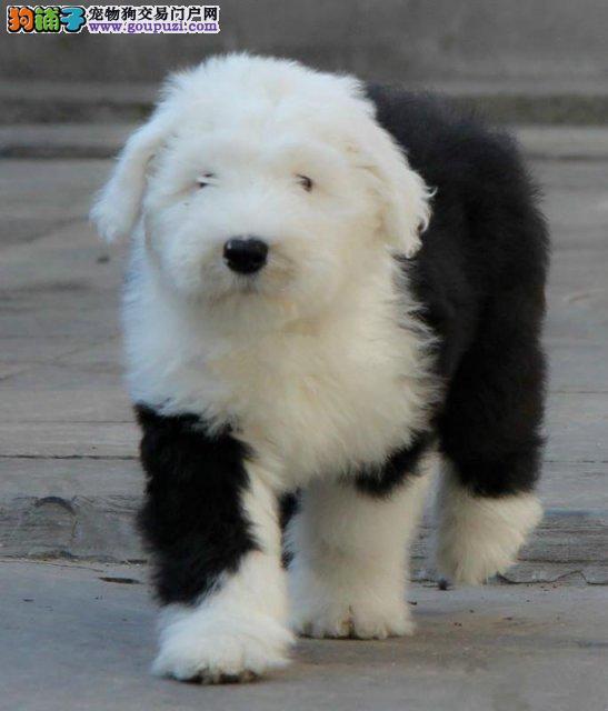 赛级白头古牧幼犬 古代牧羊犬 低价出售