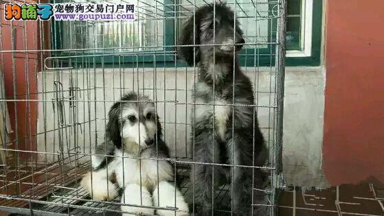 低价热销阿富汗猎犬 假一赔十纯度第一 专业信誉服务