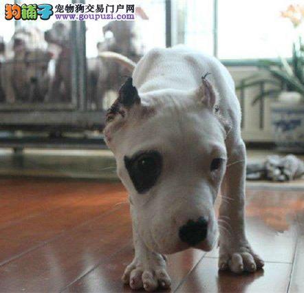 极品 杜高犬纯种健康 CKU国际认证犬舍
