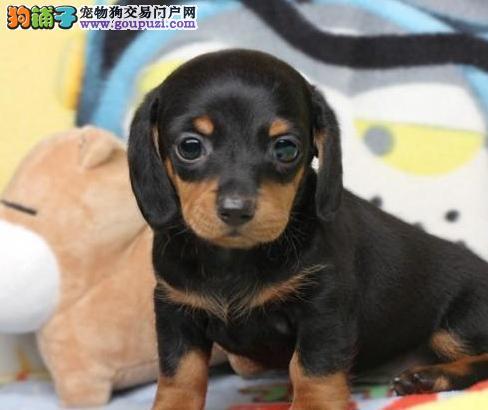专业繁育基地 出售高品质腊肠幼犬