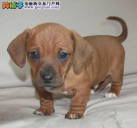 出售纯种腊肠幼犬多只可选驱虫免疫做完待售