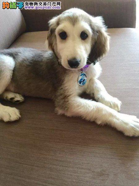 出售多种颜色纯种阿富汗猎犬幼犬国际血统认证