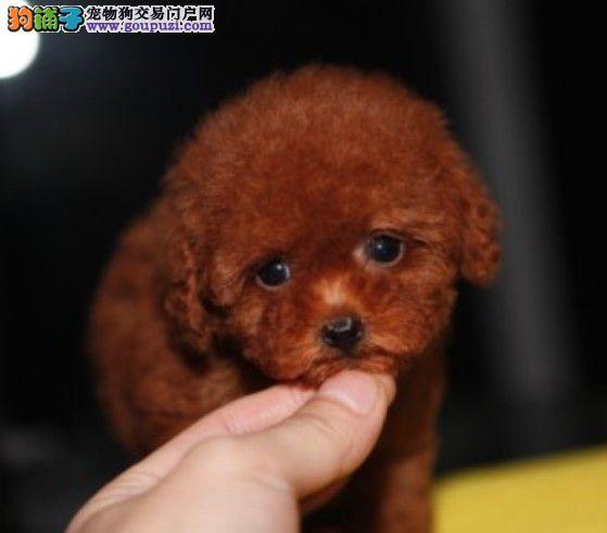 出售自家繁殖泰迪犬 可爱至极 购买可签订协议