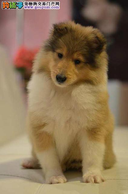出售纯种三色雕色苏牧幼犬苏格兰牧羊犬宠物犬品质保证