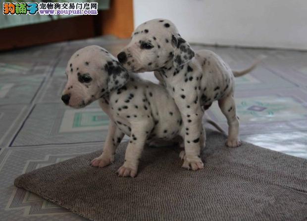 出售纯种斑点狗,带有幼犬证书芯片