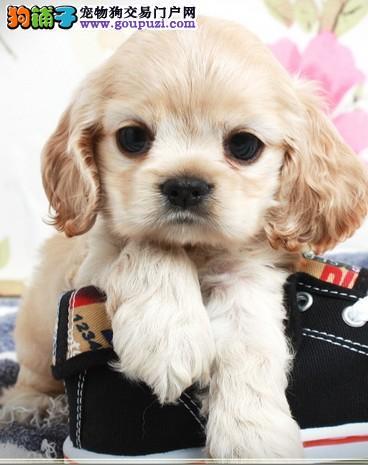 纯种英国可卡犬 可卡幼犬 品质保证 可卡狗狗 纯种健康