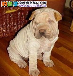 出售沙皮狗颜色齐全公母都有微信看狗可见父母