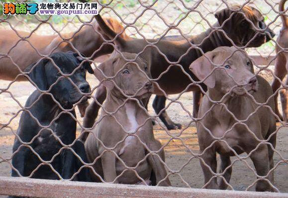 繁殖基地出售多种颜色的比特犬质保三年支持送货上门
