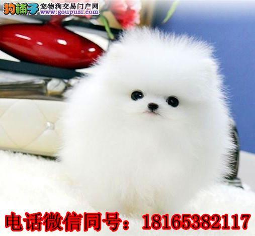 成都博美犬价格_成都博美犬多少钱一只_纯种博美犬幼犬