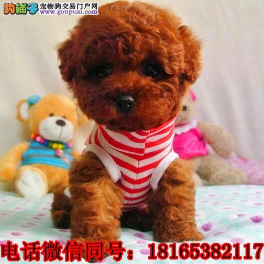 成都泰迪犬价格_成都泰迪犬多少钱一只_纯种泰迪犬幼犬