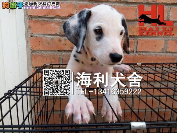 三明哪里有卖斑点狗 三明纯种大麦町犬价位多少