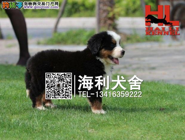 三明哪里有卖伯恩山犬 三明纯种伯恩山犬多少钱