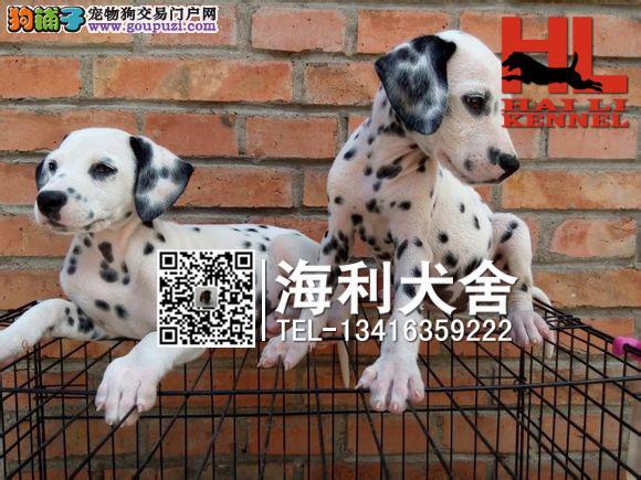 莆田哪里有卖斑点狗 莆田大麦町犬价位多少