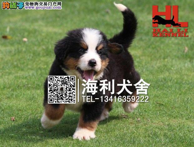 漳州哪里有卖伯恩山犬 漳州纯种伯恩山犬价位多少