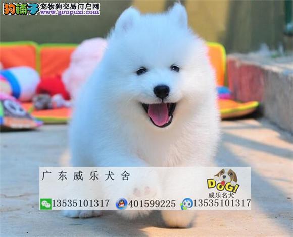 纯种健康、 微笑天使萨摩耶幼犬火热出售中、质保终生