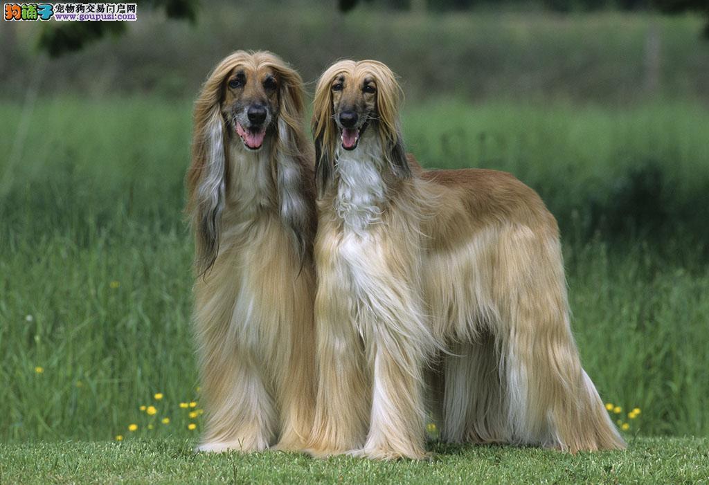 正宗极品武汉阿富汗猎犬绝对血统纯正签订协议终身质保