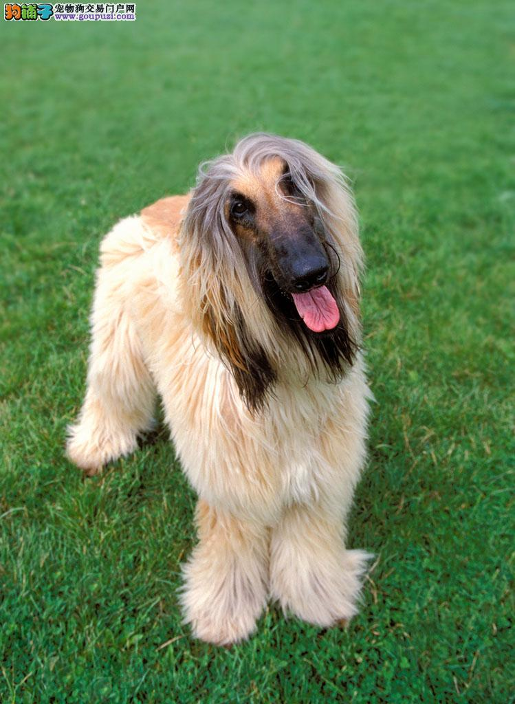 重庆实体店热卖阿富汗猎犬颜色齐全提供护养指导