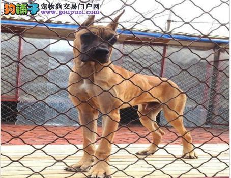 郑州出售大丹犬幼犬品质好有保障喜欢来电咨询