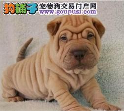 唐山基地直销憨厚皱皮沙皮犬幼犬