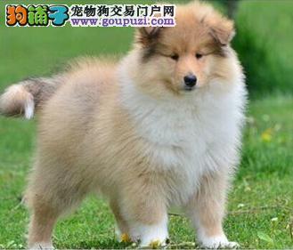 赛级苏格兰牧羊犬幼犬 欢迎选购信誉第一,实物拍摄可见父母 质保全国送货