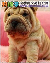 可爱沙皮幼犬 基地直销 可亲自来场挑选