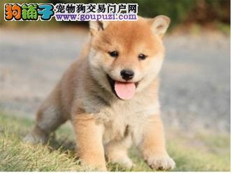 自家繁殖的柴犬加微信可以视频看小狗喜欢可以来家看