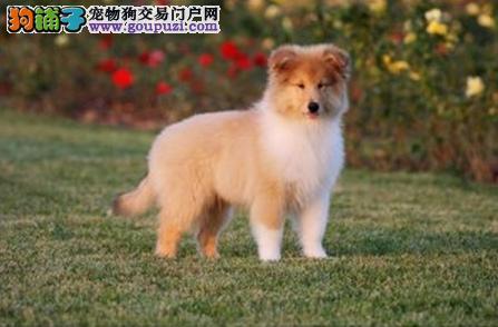 最大犬舍出售多种颜色苏牧期待您的光临