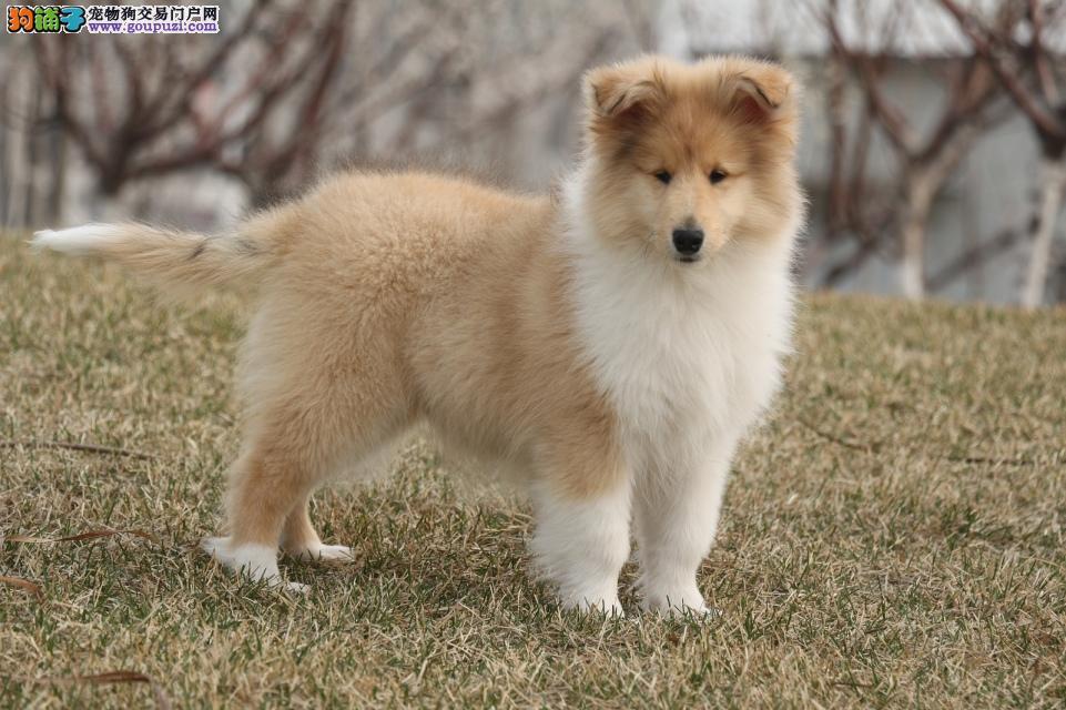 联保纯种犬繁殖基地出售高品质纯种苏牧幼犬健康活泼