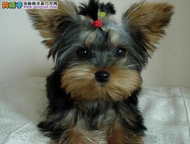 犬业实物拍摄约克夏幼犬2-4个月均有,协议质保!