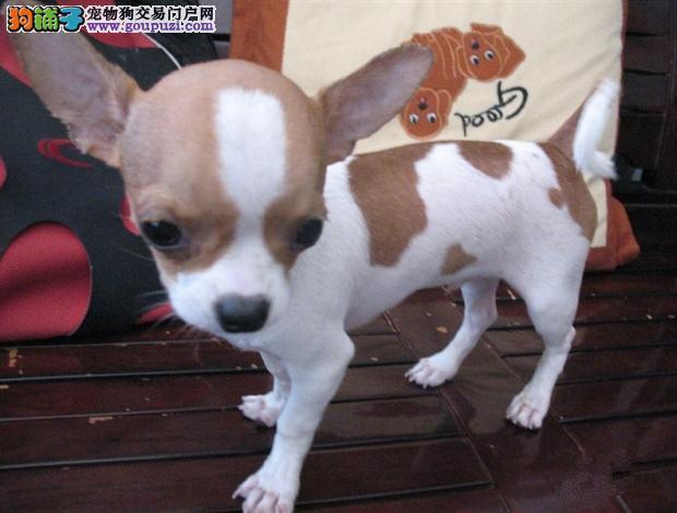 出售吉娃娃幼犬 苹果头 大眼睛 血统纯正 健康保证