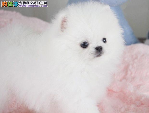 狗场直销纯种博美幼犬品质有保障 信誉售后服务