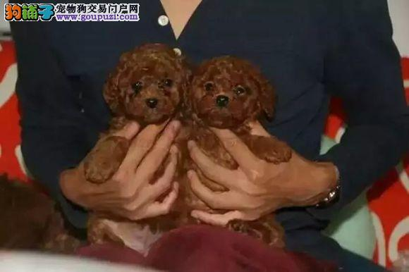精品泰迪幼犬 专业繁殖  正规犬舍 保纯度保健康
