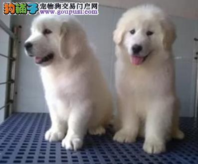 赛级大白熊幼犬出售中 包纯种保健康