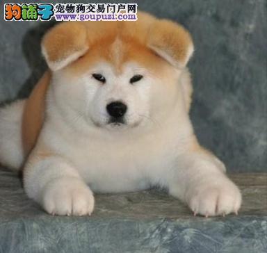 纯种日系秋田犬幼犬出售,专业犬舍繁殖来犬舍可看狗父