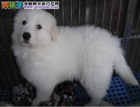 大白熊幼犬出售 专业繁殖 犬舍直销 免费送货上门