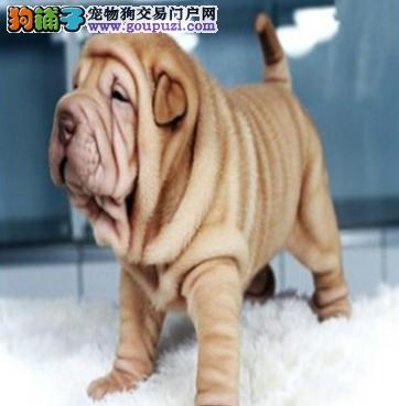 沙皮幼犬 纯种健康专业狗场繁殖 签协议 可送货上门